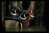 wood ducks book